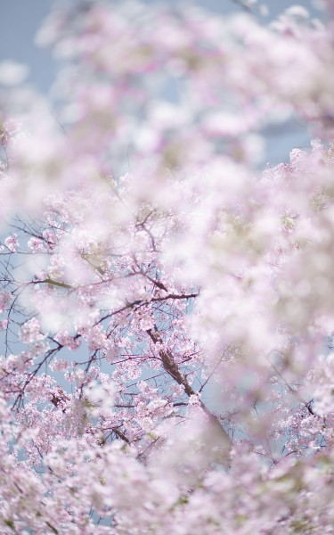 Sakura 2, Kyoto, Japan