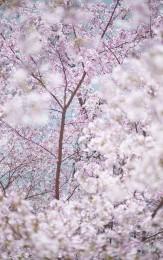 Sakura 3, Kyoto, Japan