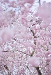 Sakura 4, Kyoto, Japan
