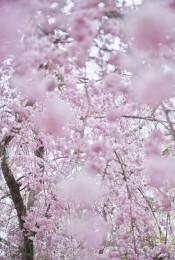 Sakura 5, Kyoto, Japan
