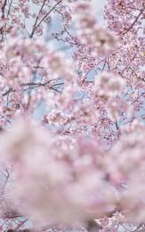 Sakura 6, Kyoto, Japan