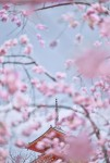 Sakura 7, Kyoto, Japan
