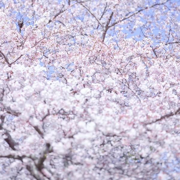 Sakura 8, Kyoto, Japan