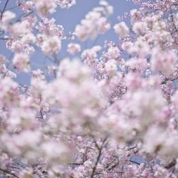 Sakura 9, Kyoto, Japan