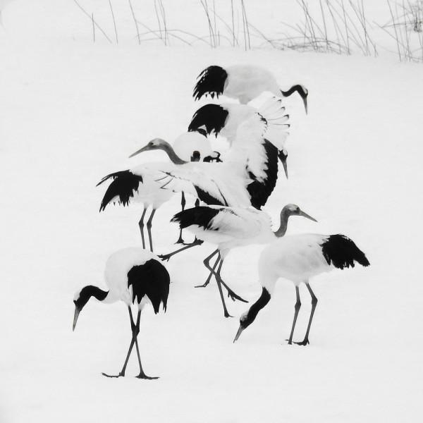 Tancho Birds 1