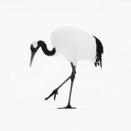 Tancho Birds 3