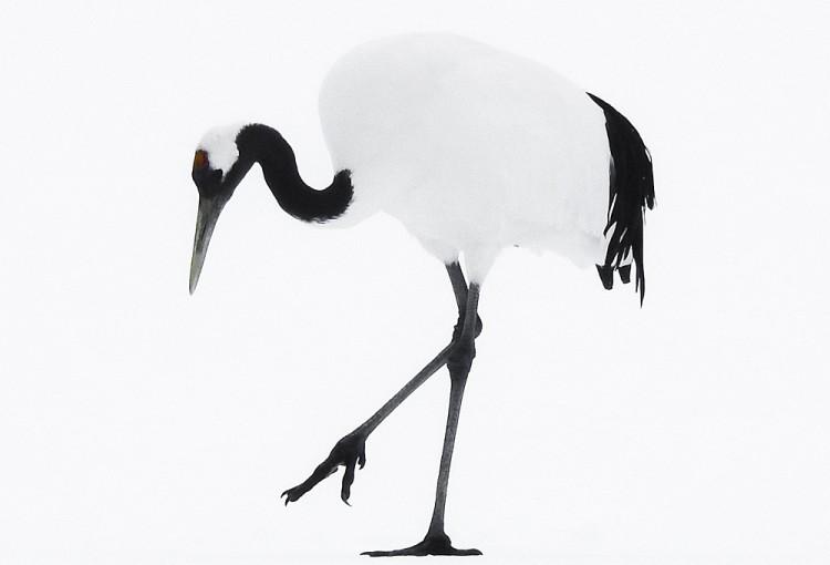 Tancho Birds 03