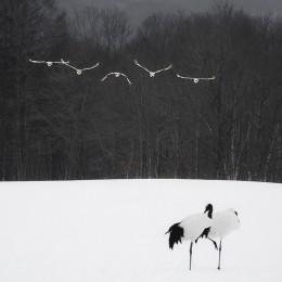 Tancho Birds 4