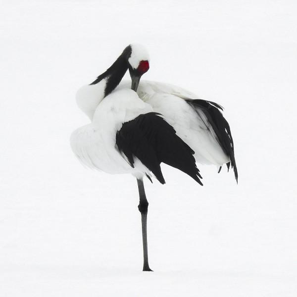 Tancho Birds 6