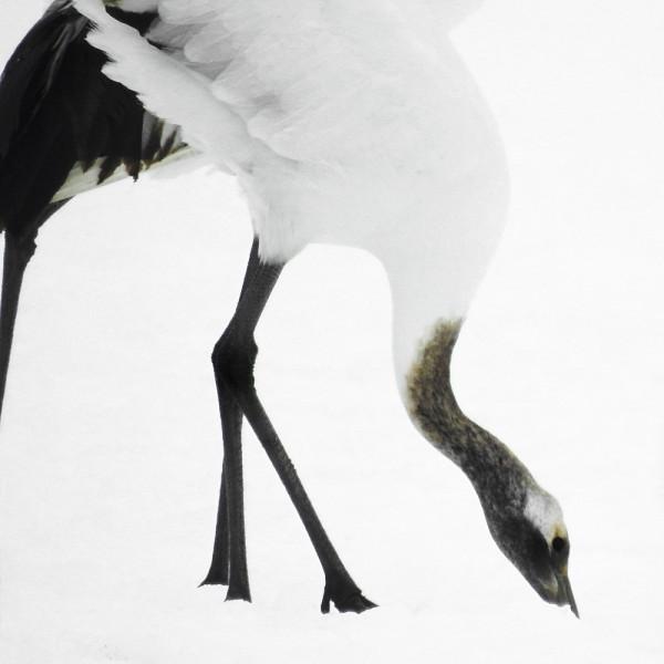 Tancho Birds 7