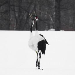 Tancho Birds 8