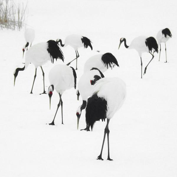 Tancho Birds 9