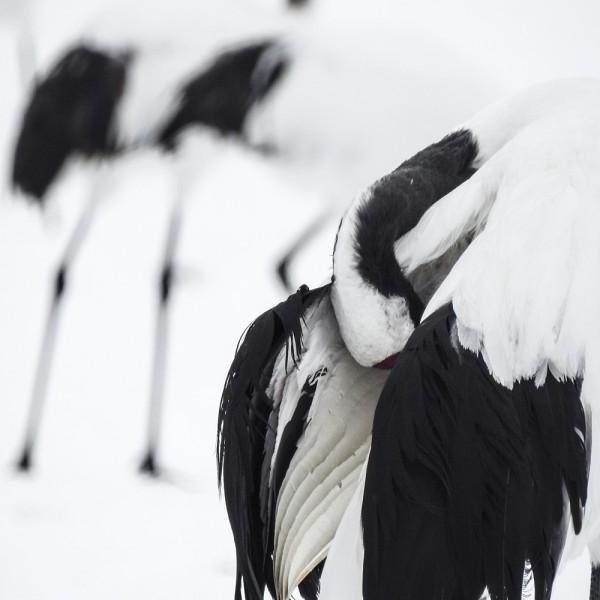 Tancho Birds 10