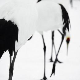 Tancho Birds 11