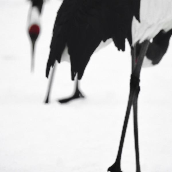 Tancho Birds 12
