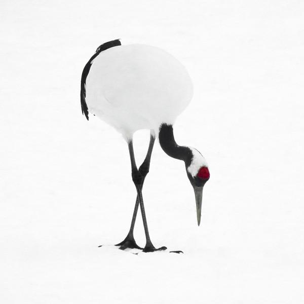 Tancho Birds 13