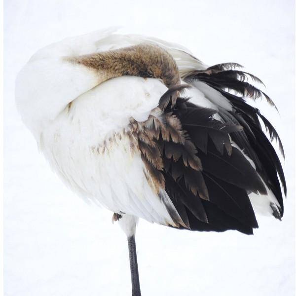 Tancho Birds 14