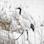 Tancho Birds 16