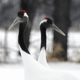 Tancho Birds 17