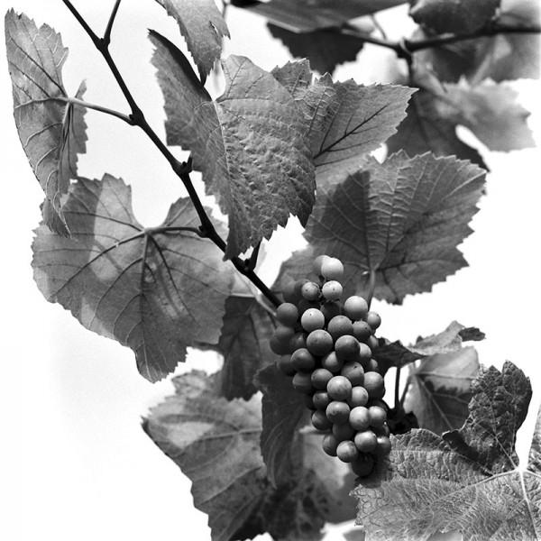Young Pinots