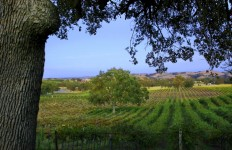 Templeton Vineyard 2