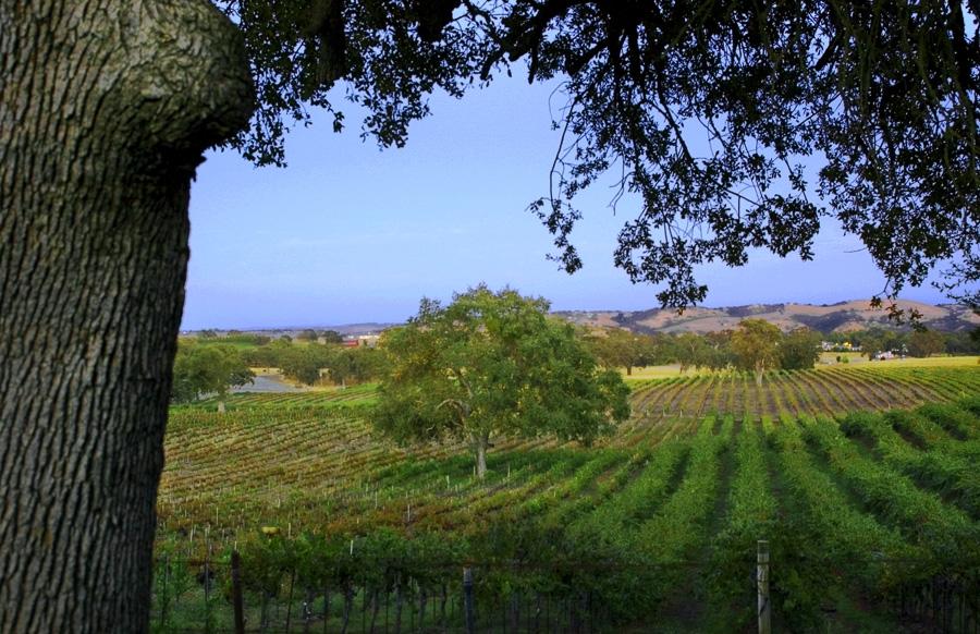 Templeton Vineyard 2