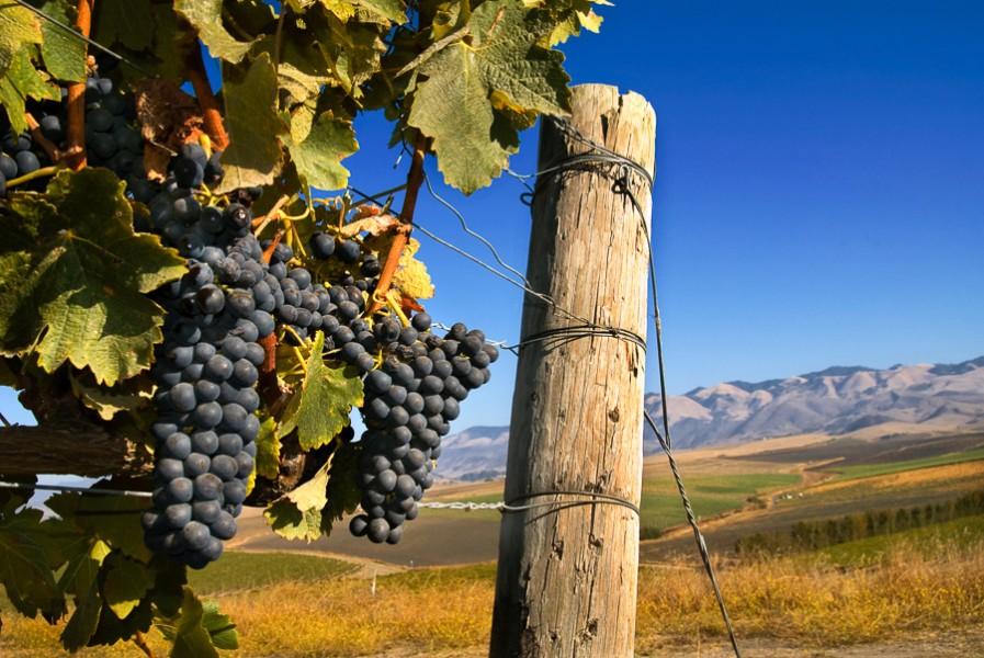 Vines and San Luis Obispo Hills