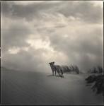 Coyote on Dunes 1