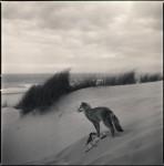 Coyote on Dunes 2