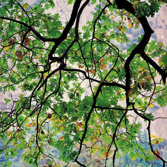 Draping Oak Branch, CA
