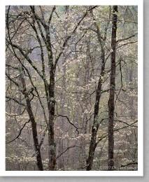 Dogwood, Spring, Great Smoky Mountains