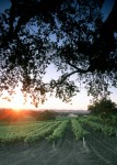 Vineyard Sunset 2