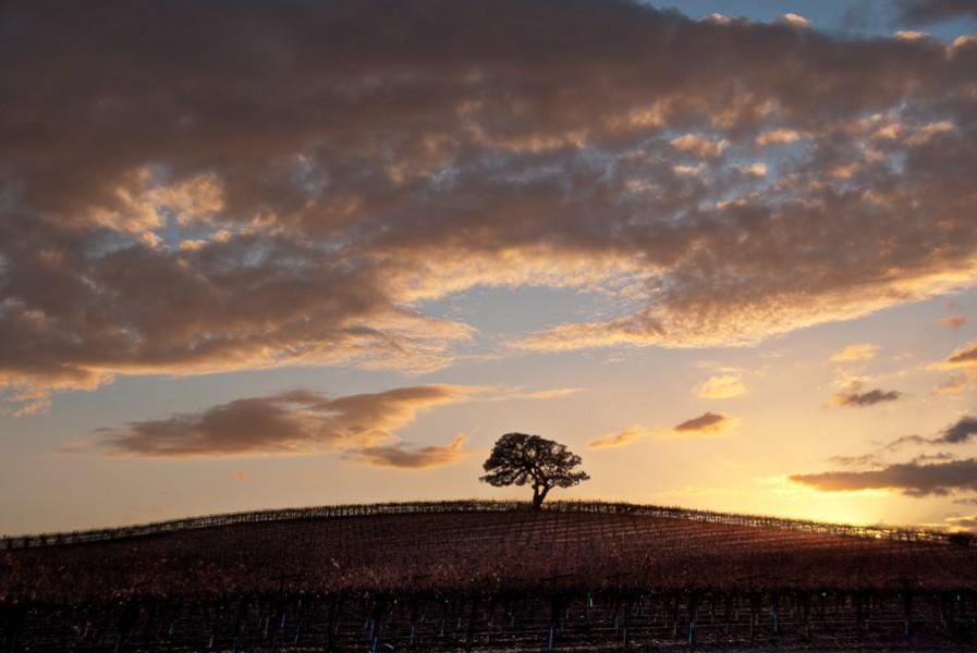 Lone Oak at Sunset