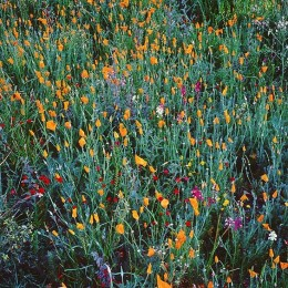 Festive Spring Wildflowers, California