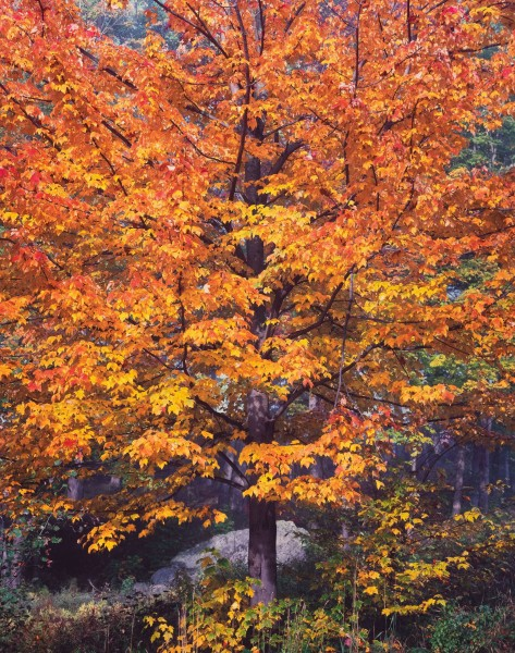 Illuminated Sugar Maple, Vermont