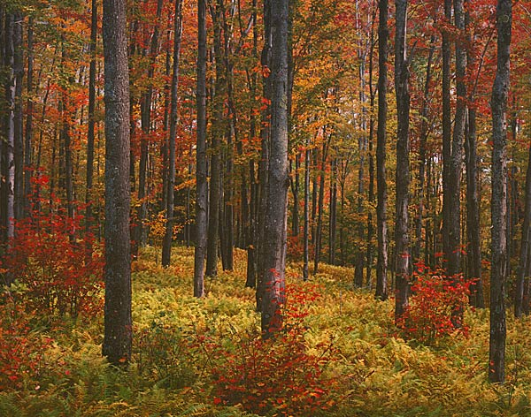 Autumn Forest, Vermont