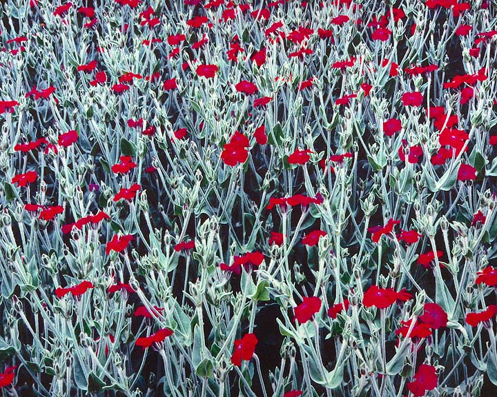Red Campion, Oregon