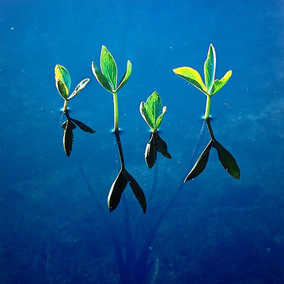 Spring Waterplants, Newfoundland