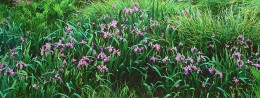 Wild Lavender Iris, Connecticut