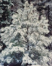 Young Pine and Snow, Oregon